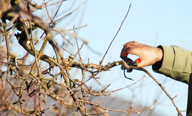Обрізка яблунь навесні