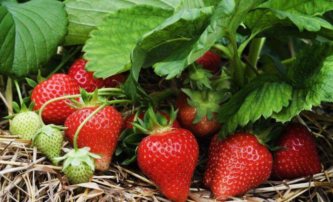 врожай полуниці