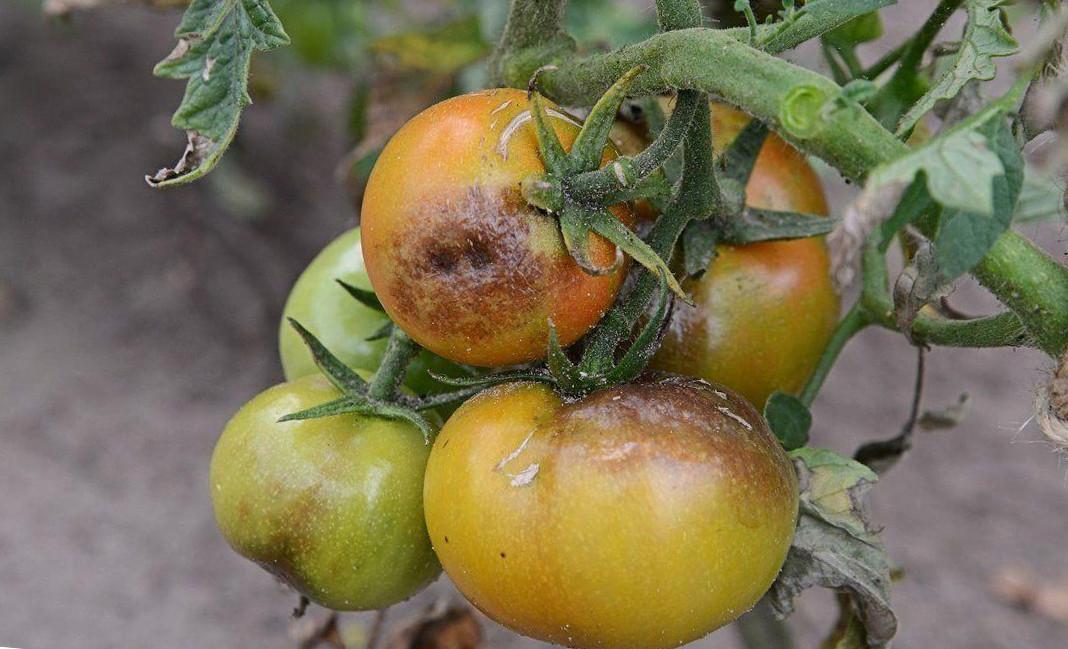 фітофтороз помідор
