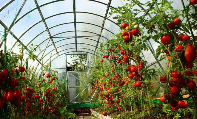 спасіння помідор від жари в теплиці