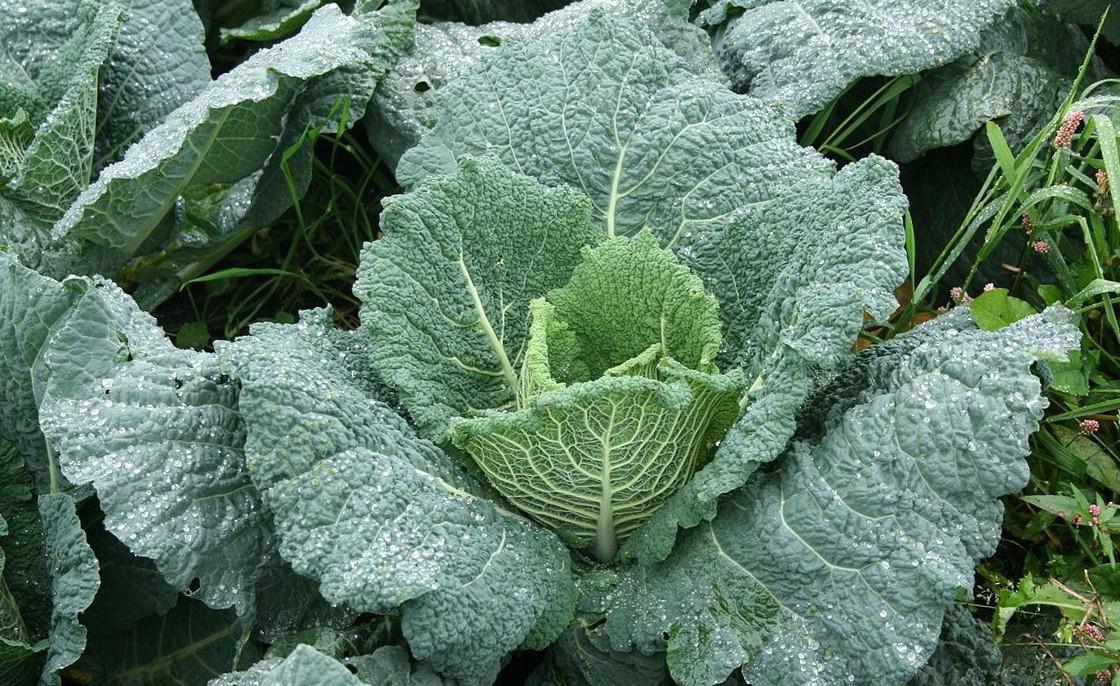 догляд за савойською капустою
