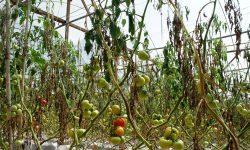 в'яне листя у томатів