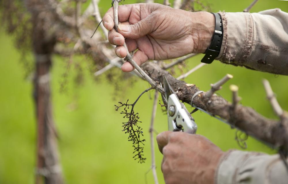 необхідність обрізки винограду