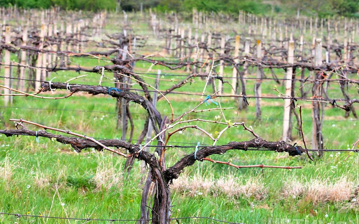 формування винограду