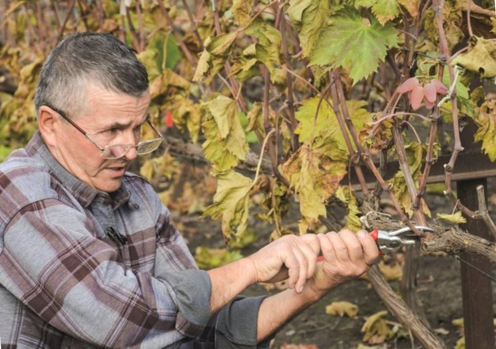 обрізка винограду
